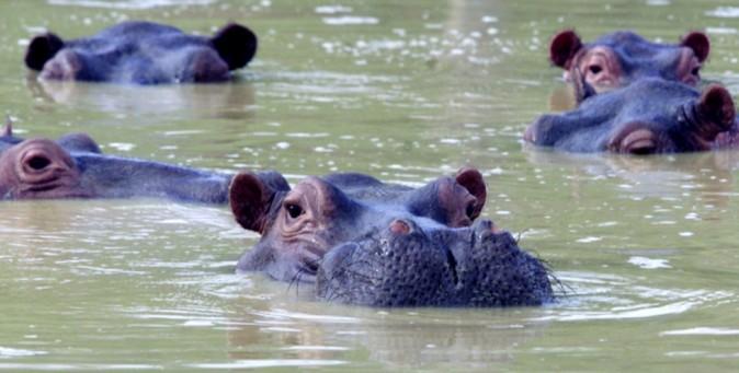 Gli ippopotami di Pablo Escobar | TPI
