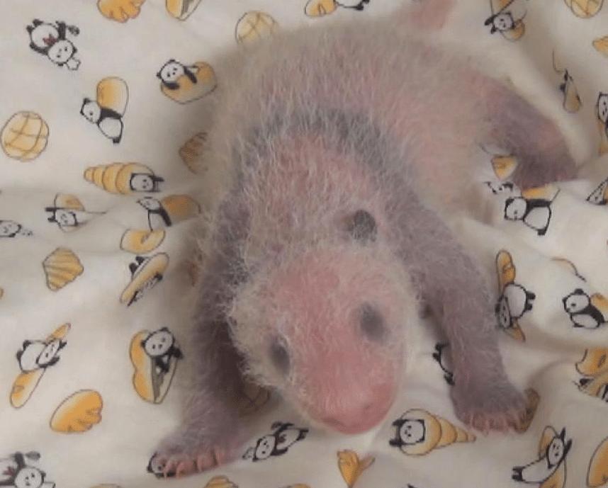 panda femmina tokyo