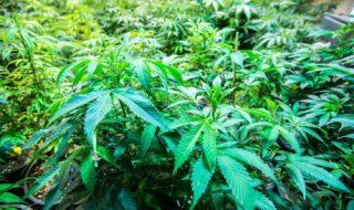 zimbabwe legalizza marijuana