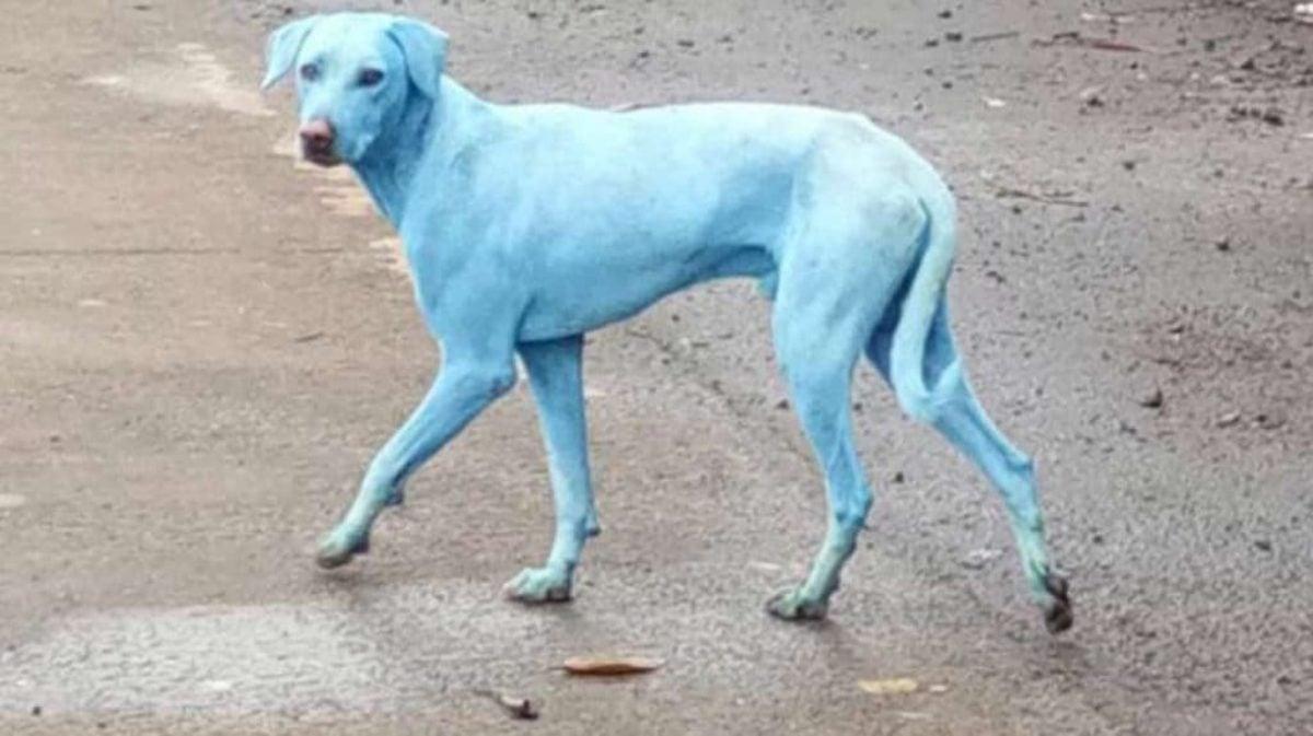 Cani azzurri dopo il bagno nel fiume: ecco dove è successo