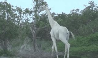 Le giraffe reticolate sono considerate una specie vulnerabile