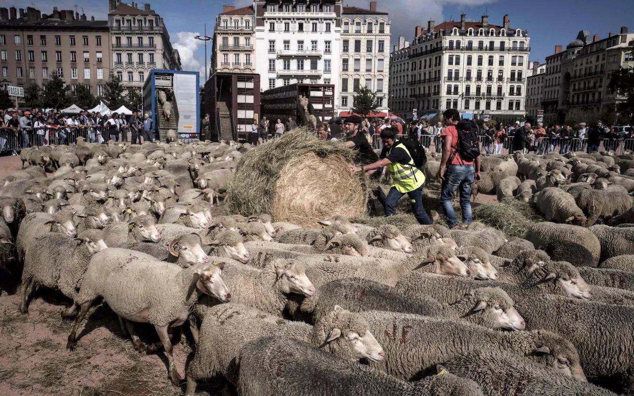 pecore Lione