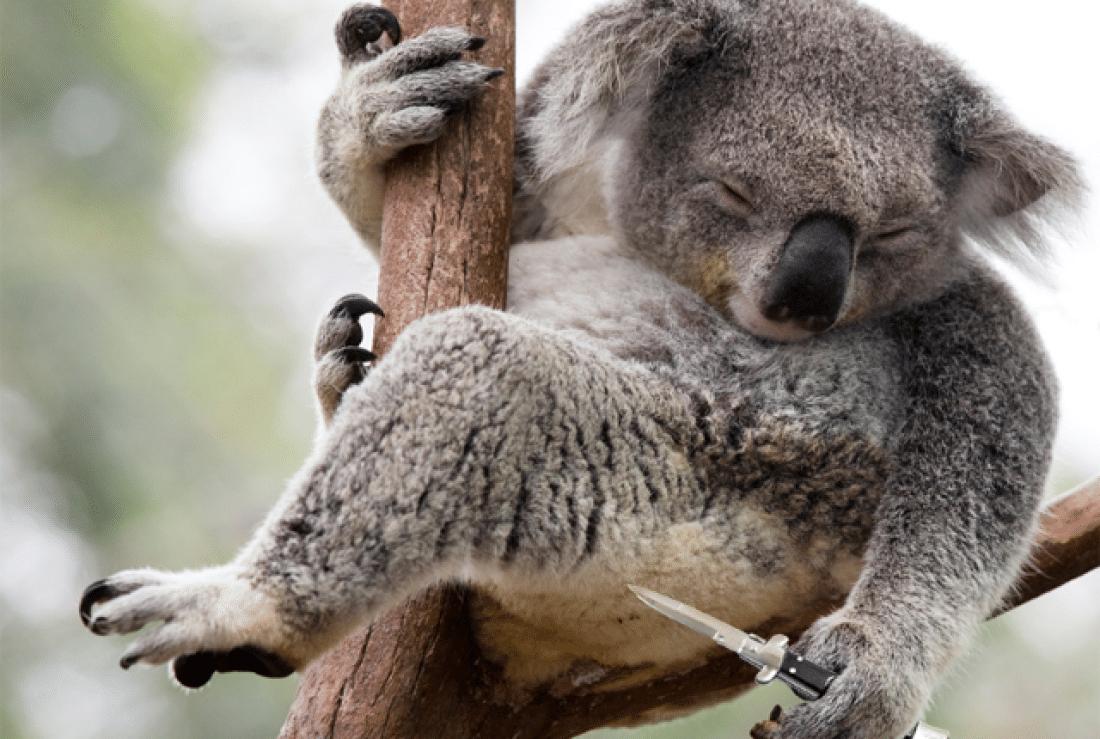 Koala, violento
