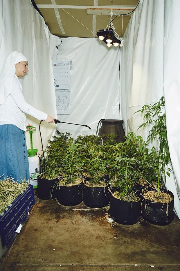 suore, cannabis