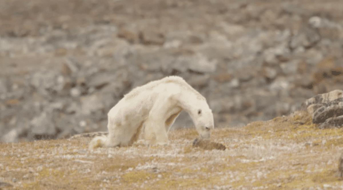 Canada, le immagini strazianti dell'orso polare che muore di fame