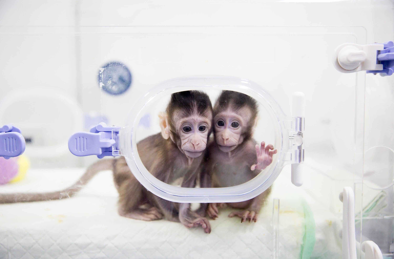 Le prime scimmie nate con la tecnica della clonazione