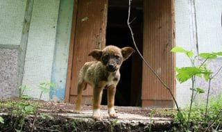 Chernobyl tragedia cani