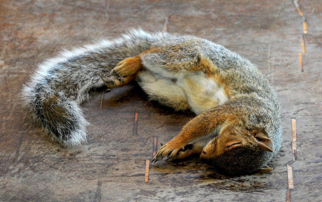 scoiattolo londra da mangiare