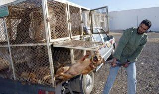 Marocco cani uccisi