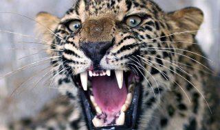 uganda leopardo