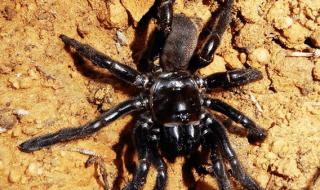 ragno più vecchio del mondo
