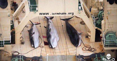 giappone balene incinte uccise