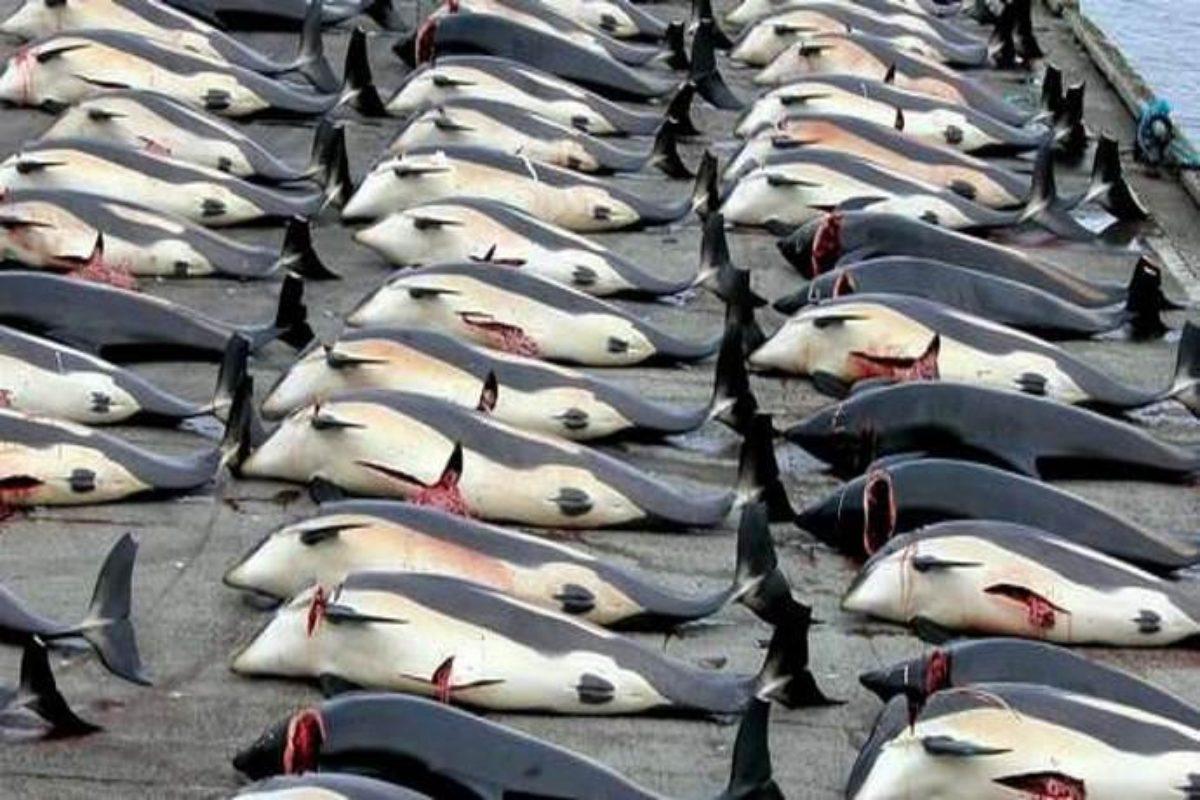 caccia in giappone: uccise 333 balene, 122 erano incinte e 114 cuccioli - il giornale