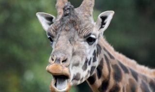 regista giraffa