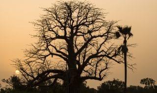 baobab morte
