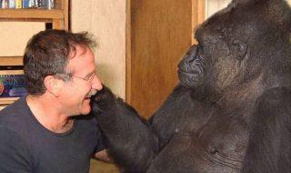 koko gorilla morto
