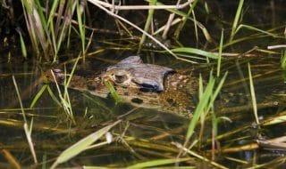 Maccarese, mistero coccodrillo nel canale