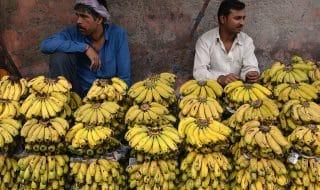 banane estinzione