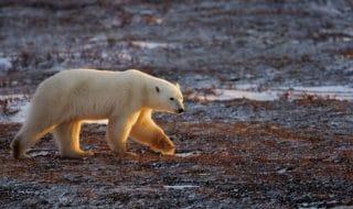 orso polare habitat