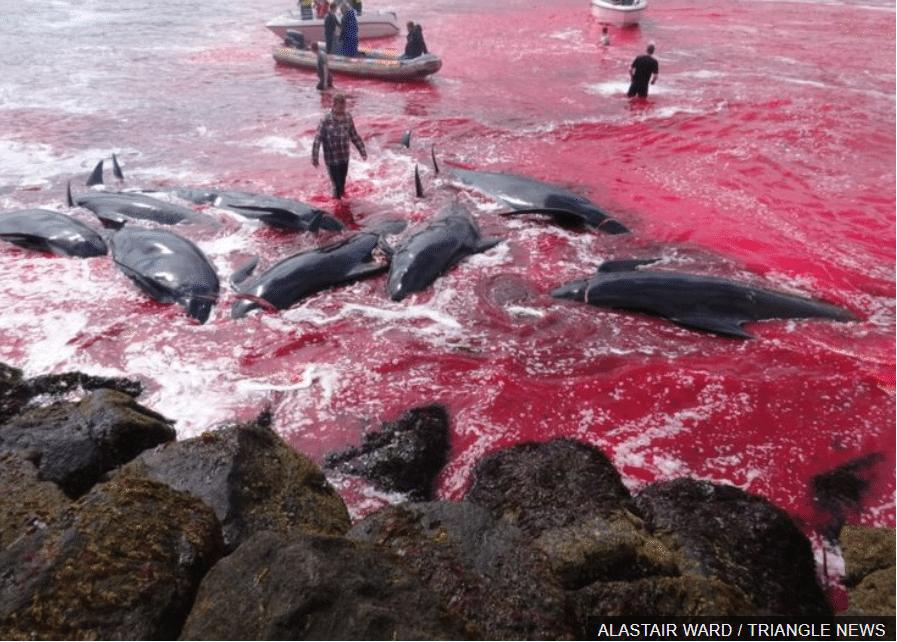 isole faroe caccia alle balene