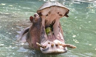 kenya ippopotamo uccide turista