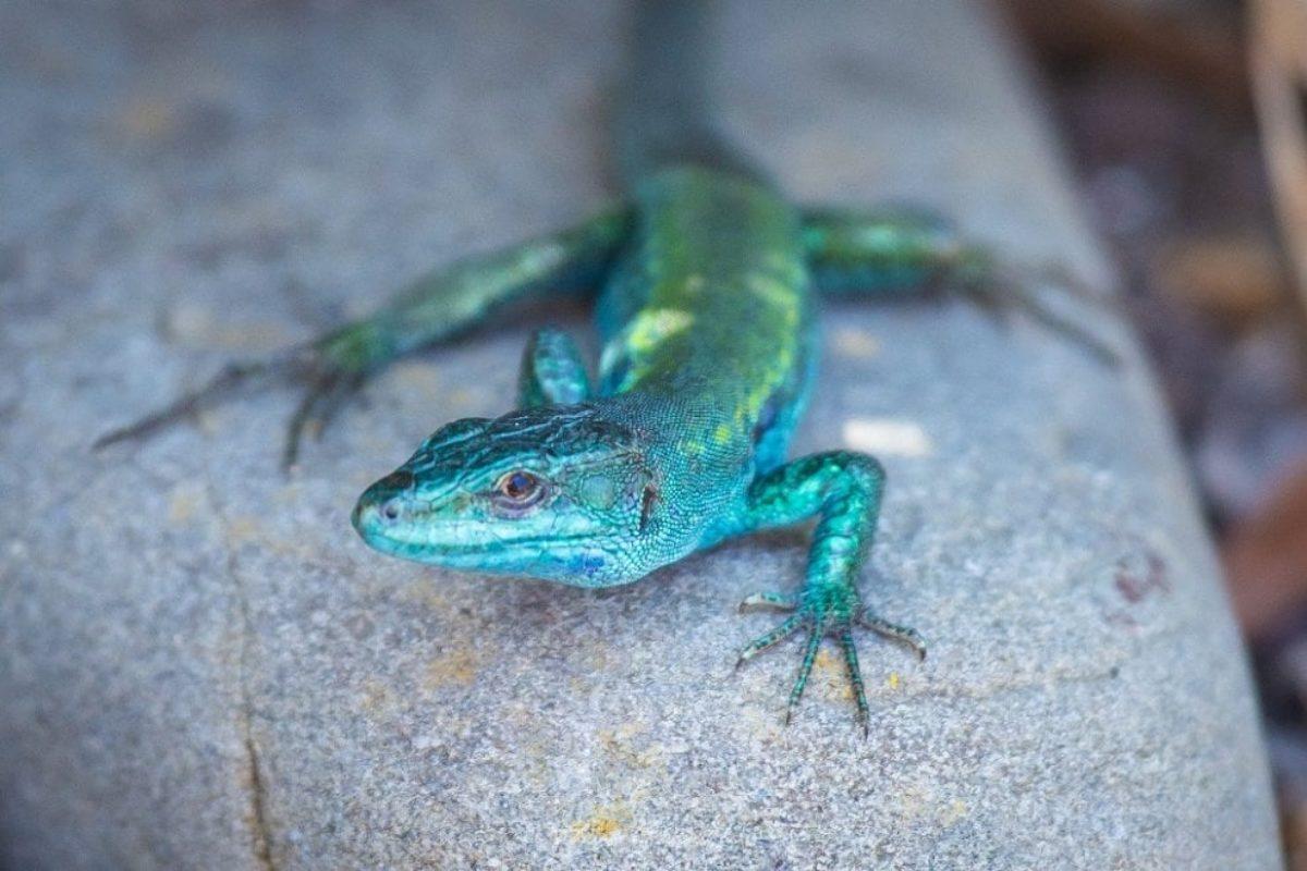 lucertola azzurra licosa