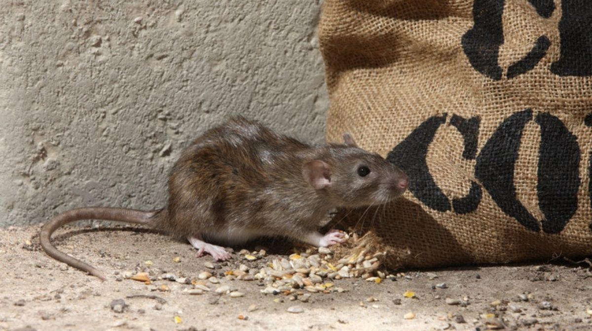 epatite e uomo infettato topo