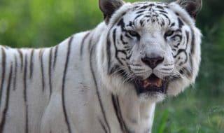 Tigre bianca attacco