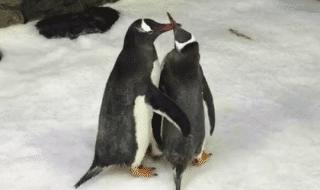 pinguini maschi uovo