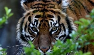 tigre india profumo