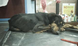 cane violentato genitali tagliati
