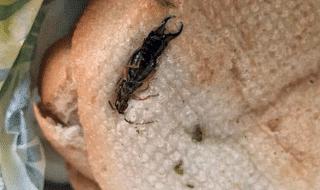 lecce insetti panini