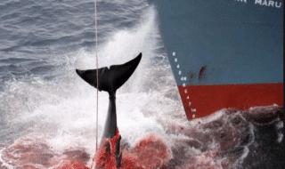 balene giappone