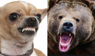 Chihuahua orso