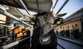 macelli bovini italia