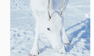 renna bianca fotografia
