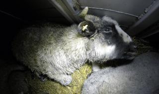 trasporto illegale agnelli italia