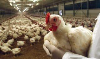 amadori comunicazione polli italiani