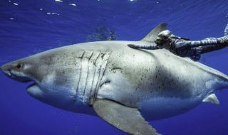 rcercatrice squalo bianco piu grande