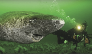 squalo più vecchio