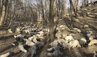 liberazione volpi bianche