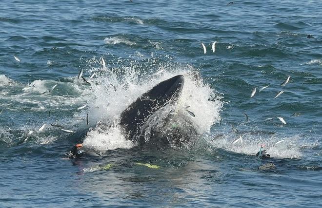 balena mangia uomo