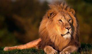 uomo sbranato leone