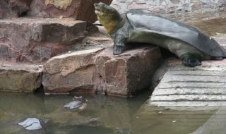 cina tartaruga guscio molle morta