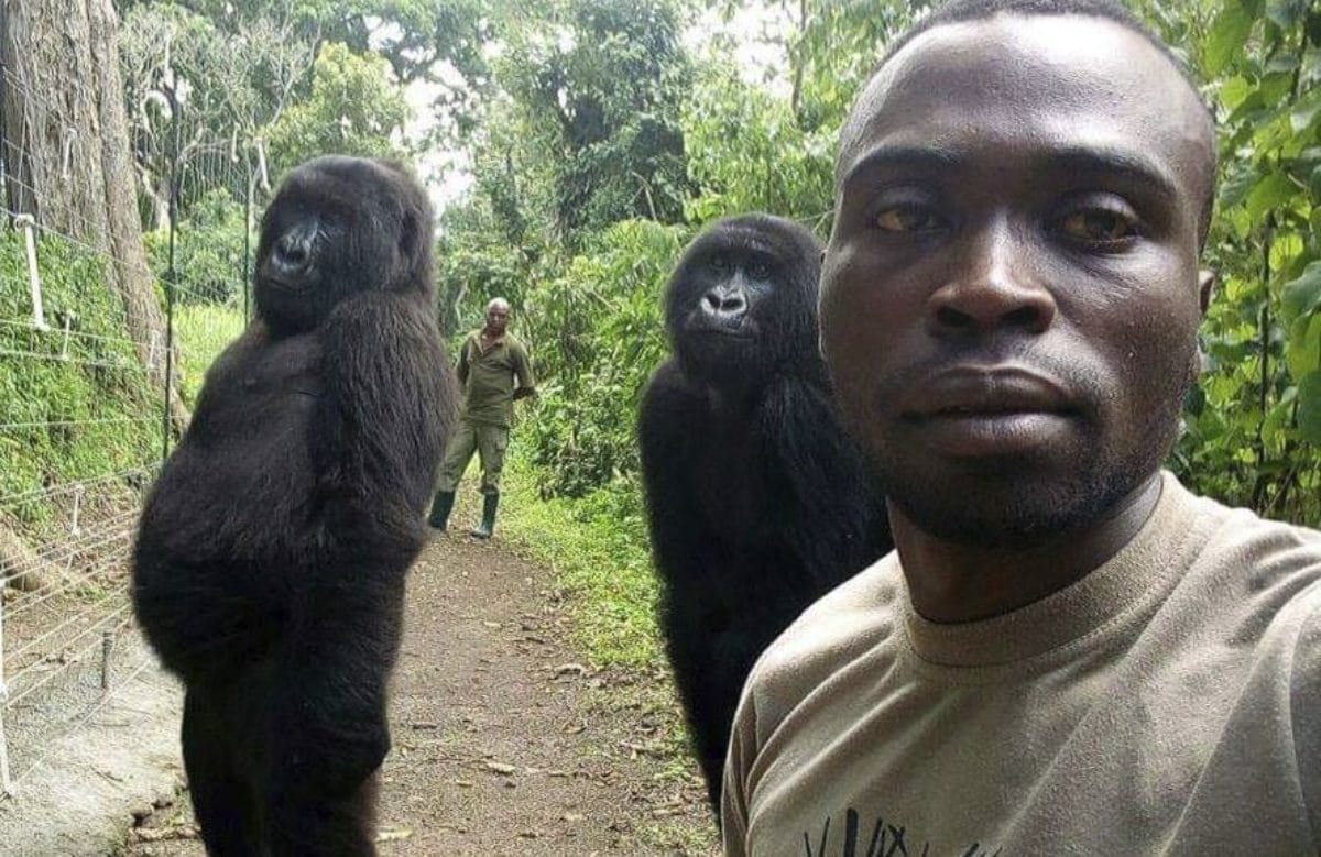 Congo: due gorilla 'in posa' alle spalle del ranger. La foto virale