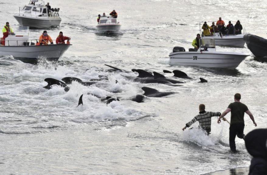 mattanza balene isole faroe