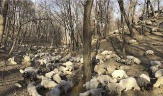 volpi bianche salvate pellicce
