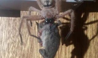 Ragno gigante Australia