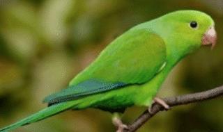 pappagalli verdi puglia