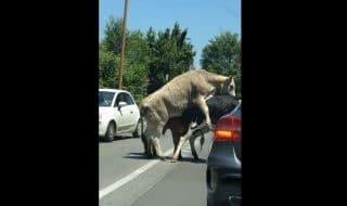 roma toro mucca si accoppiano